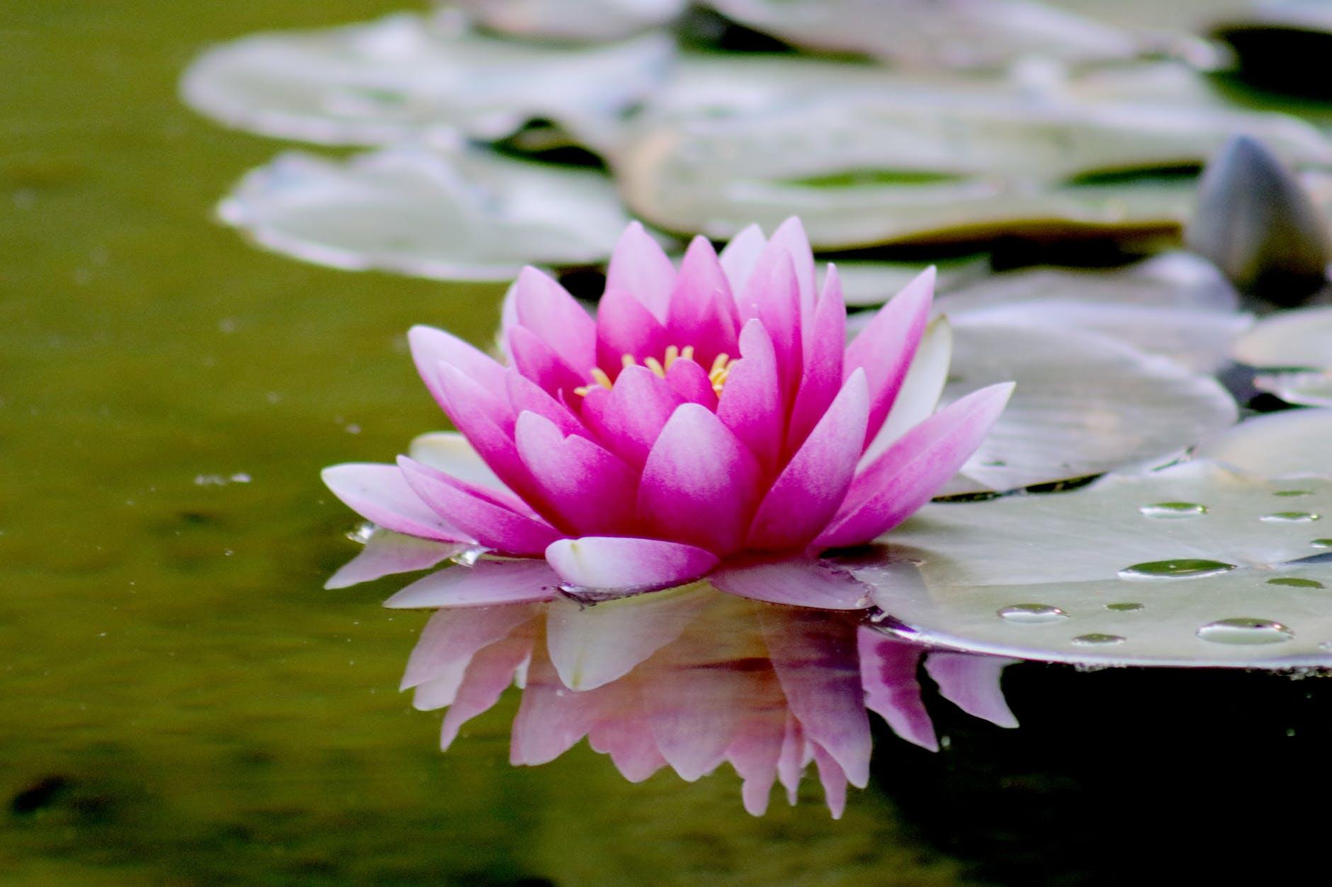 aquatic beautiful bloom blooming